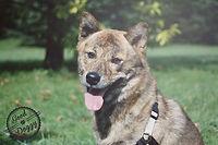 shiba élève de good doggy à lyon