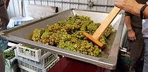Crushing and de-stemming grapes at Finger Lakes vineyard