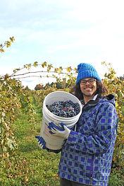Customer picking Cabernet Franc for wine making at Finger Lakes vineyard