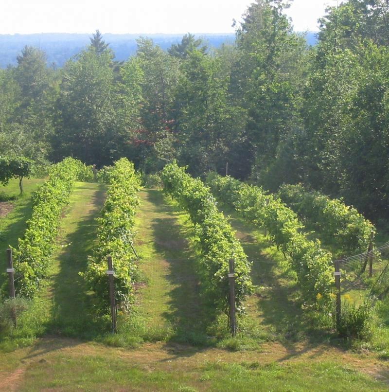 vineyard 9