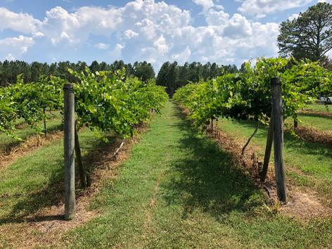 Vineyard in Newberry