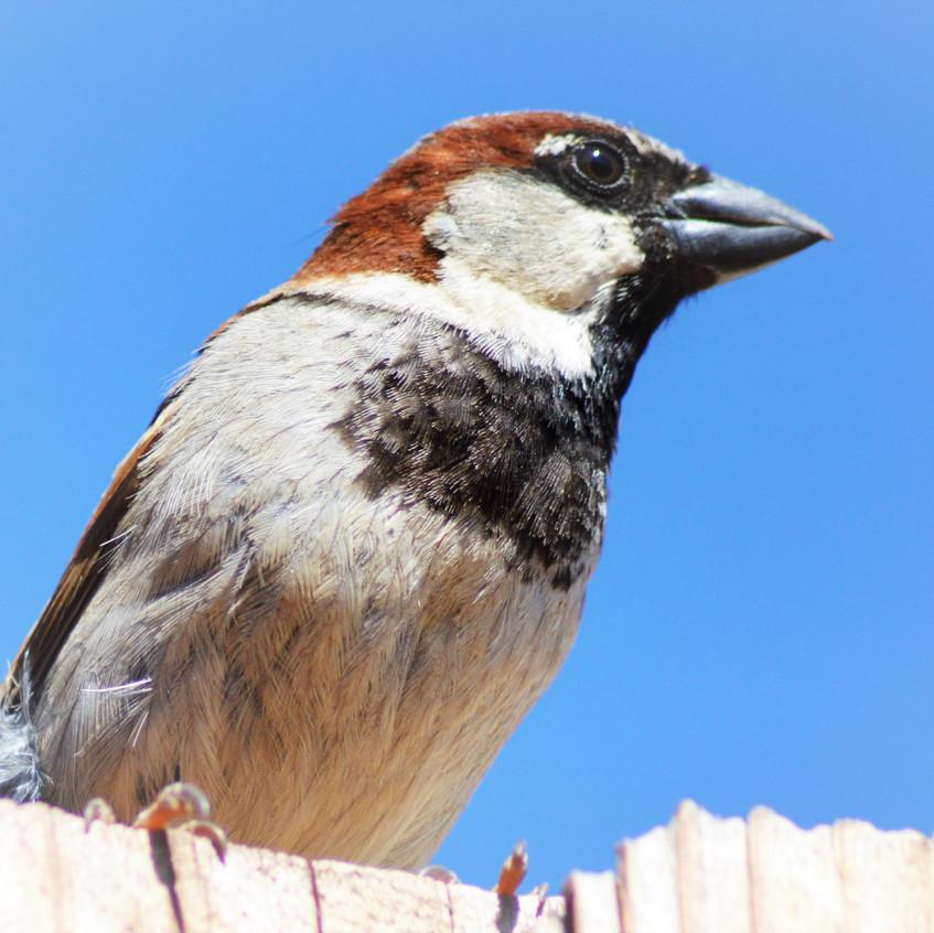 2018 May Backyard Habitat 10 Sparrow 6