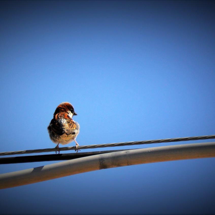 2018 May Backyard Habitat 20 Sparrow 15