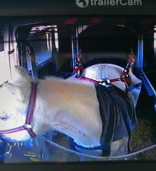 Transport d'un cheval avec fourbure