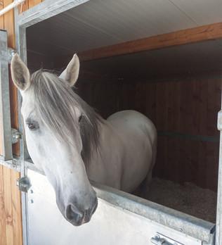 Un cheval pour une petite chirurgie