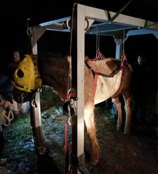 Relevage d'un cheval à terre