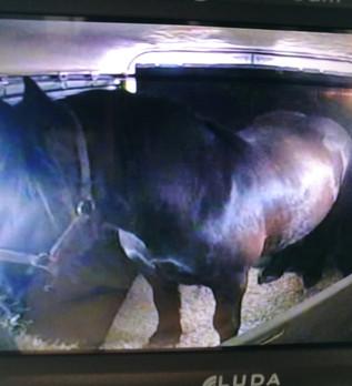 Transport d'un cheval de trait