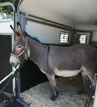 Un âne de Provence pour la ferme de la mairie de Saint André de la Roche