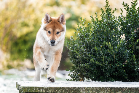 Hunde-Welpe-springt