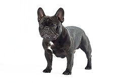 FrenchBulldog_body.jpeg