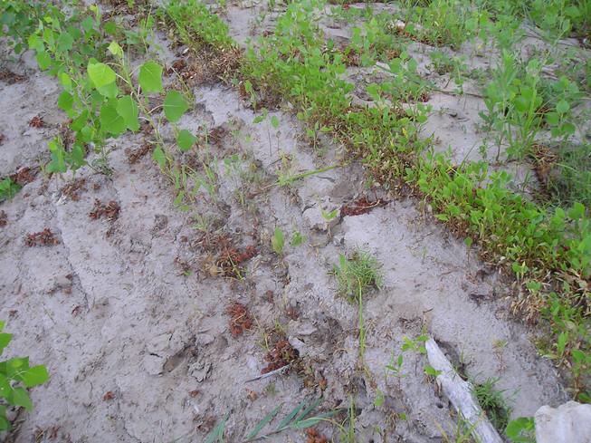 Seedling Cottonwood trees