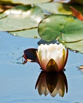 water-lily_MJ89KDYu.jpg