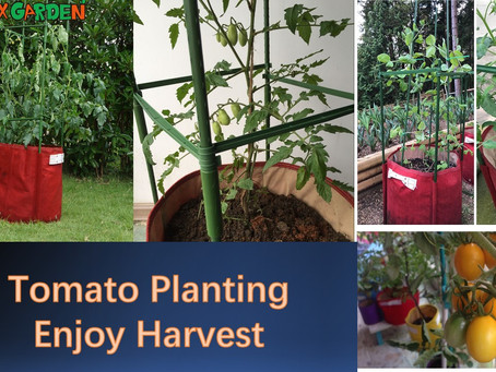 Harvest Your Tomatoes In Balcony