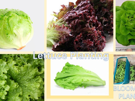 Different Lettuce In The World