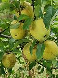 Goldrush pomme du verger de pirouette