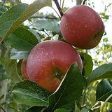 Crimson crisp pomme du verger de pirouette 79