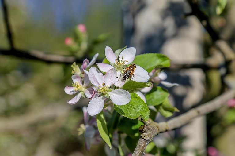 ruches et abeilles - verger de pirouette