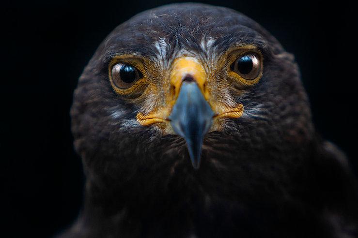 Harris Hawk. World Bird Sanctuary, St. Louis, MO