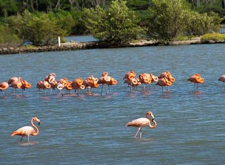 Flamingos, Curacao's Exotic Bright Pink Birds