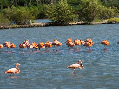 Flamingos, Curacao's Exotic Bright Pink Birds