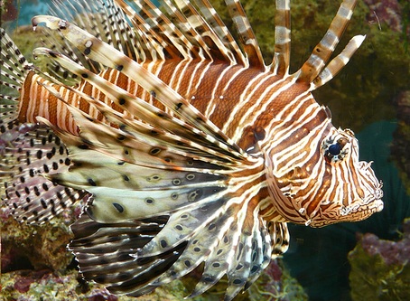 The Ugly Truth About Beautiful Lionfish in Curacao