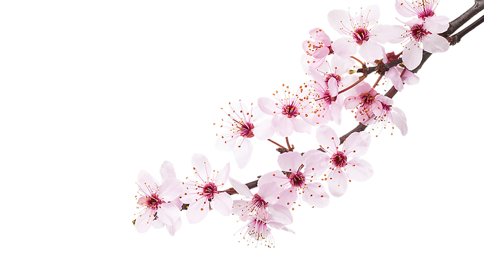 Cheery-Blossom.png