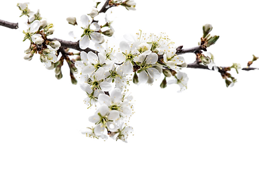 blossom-tree-branch-with-cherry-blossom-