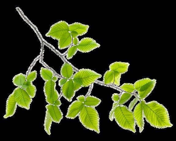 51-516254_green-leaf-branch-png-transpar
