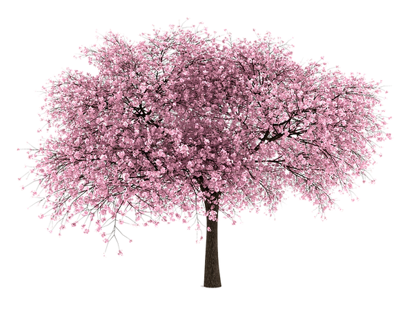 cherry-blossom-tree-png-hd-20-free-tree-