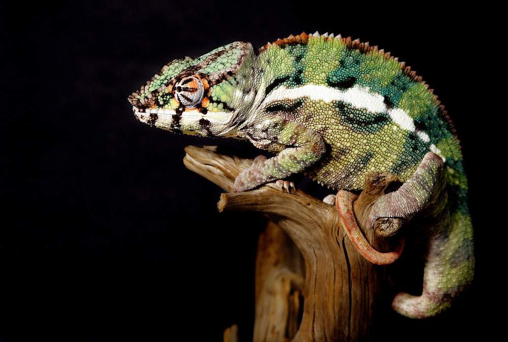 Chameleons feature in my story to help other creatures save the humans. As a family unit, they not only can blend into the background, but also they can turn into other creatures. No, the ones on earth cannot, well, at least, I don't think they can. I love this animal. It is a member of the old world lizards. They come in many colors as well as the many have the ability to change it to blend into their surroundings. Depending on the species, they have short life spans. Some live only several years while others can live as long as ten. I'm no expert. Look them up on the web and check out my book!