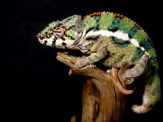 Chameleon: Beautiful Alien Creature