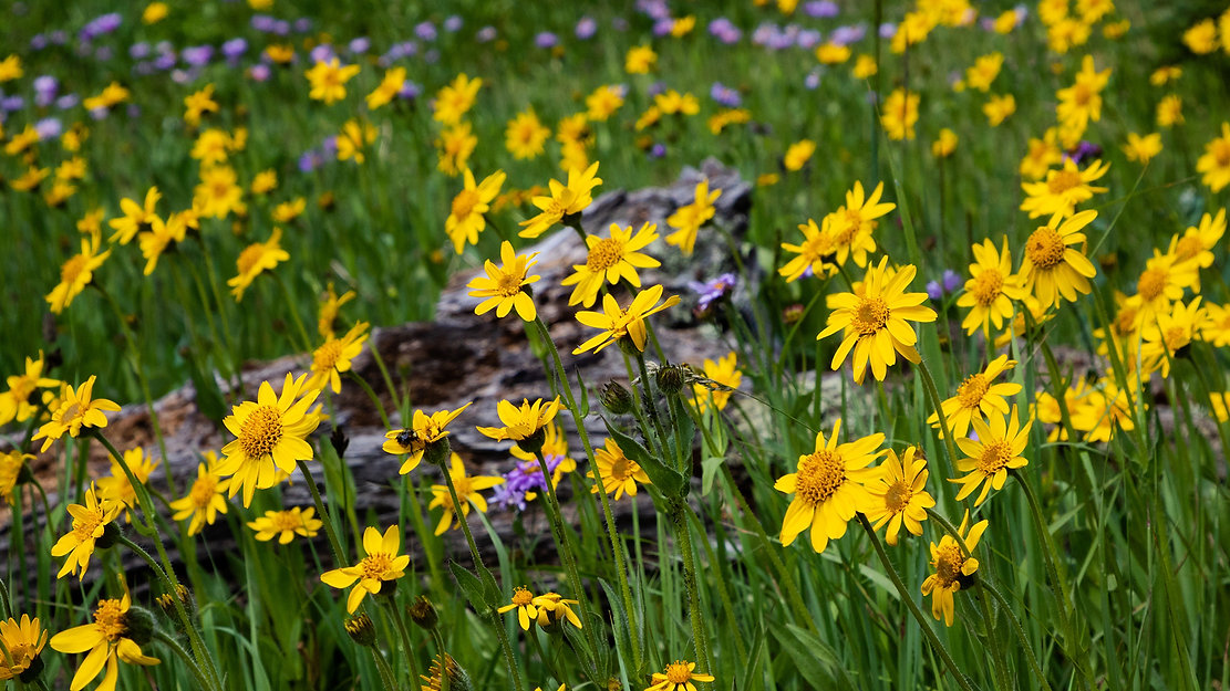 what-is-arnica-montana-for-pain-relief.j