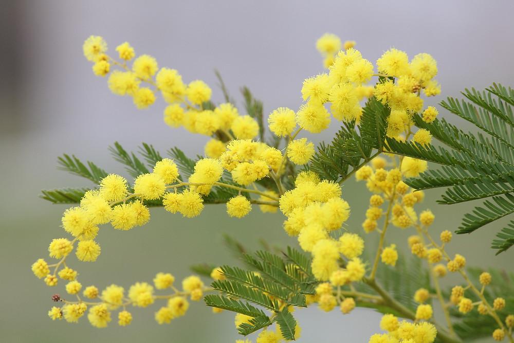 Acacia dealbata, mimosa, International Women's Day, Kent wedding florist, canterbury wedding florist