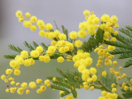 Flora 101: Mimosa - A Celebration of Spring and Female Empowerment!