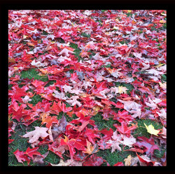 Red Leaves (2)