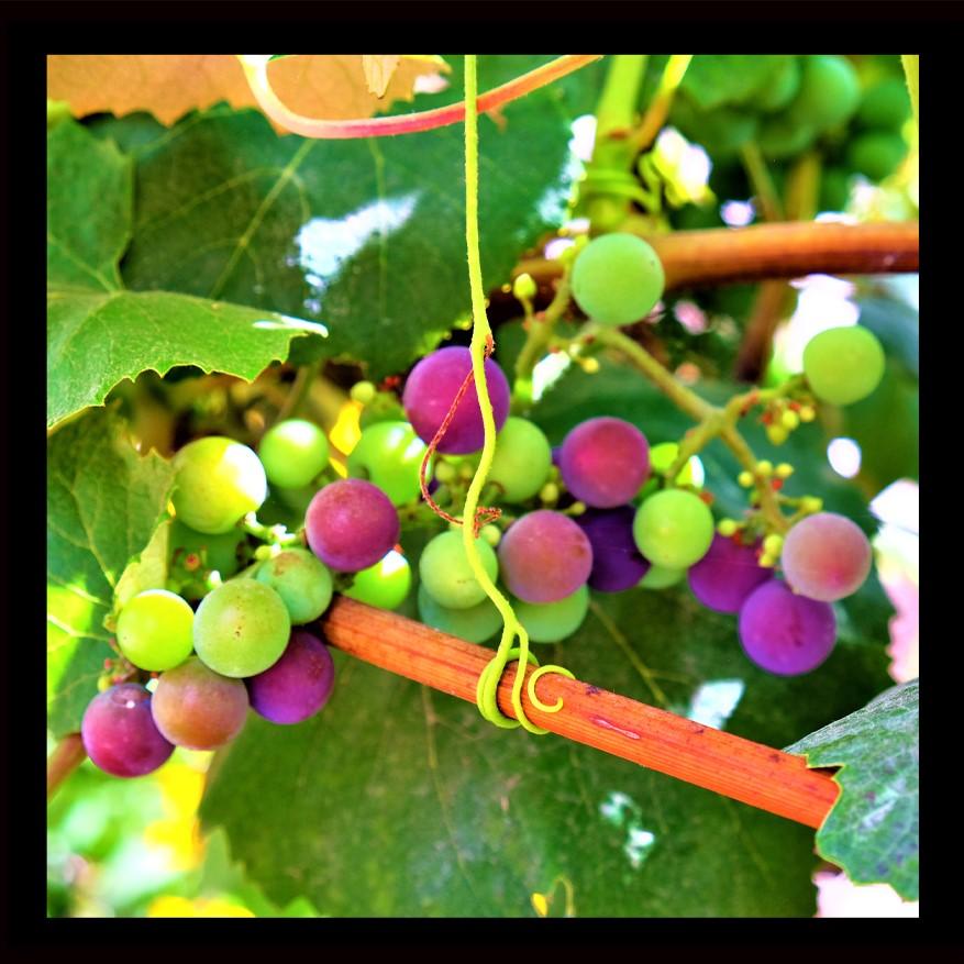Wine Grapes 2 (2)