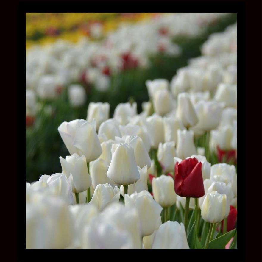 Lone Red Tulip.jpg