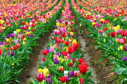 Colorful tulip rows.jpg