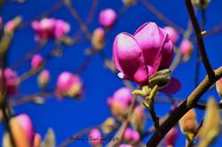neighborhood magnolia.jpg