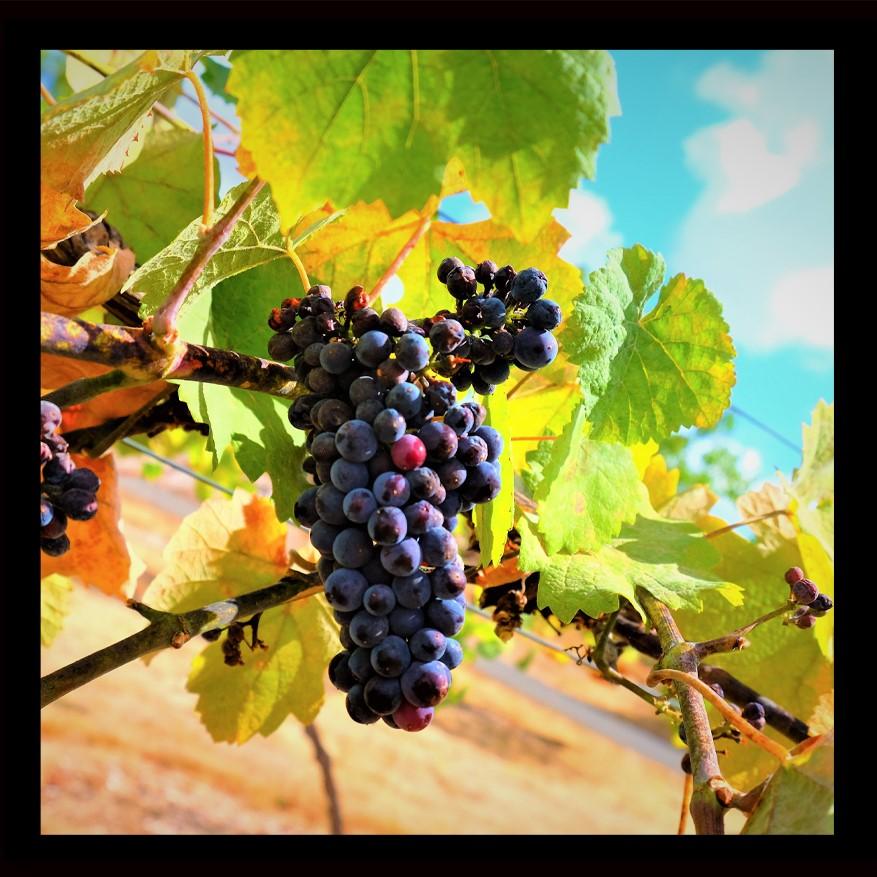 Wine Grapes (2)