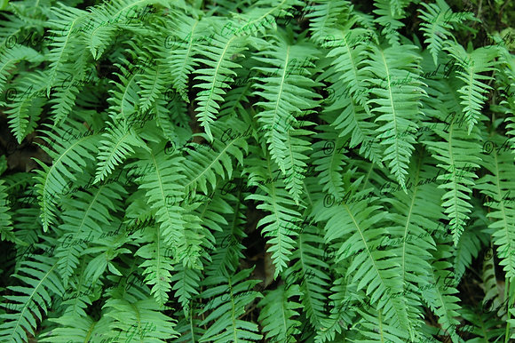 Multnomah Ferns