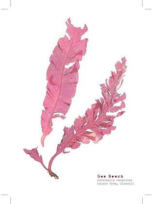Sea Beech Seaweed postcard