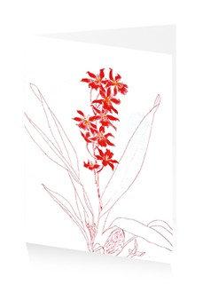 Blackadder flowers red