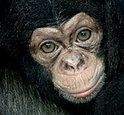Chimpanzé_Emma.png