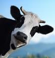 Vache Isabelle Levasseur.png