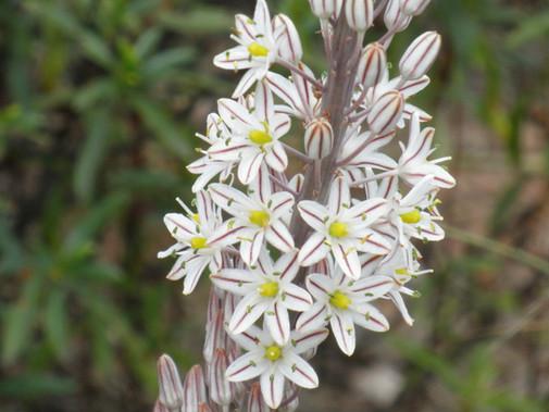 fiore di Scilla Maris da cui abbiamo preso il nome - Scilla Maris flower from which we got the name