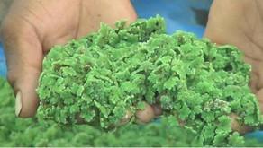 Azolla: The Bio-fertilizer