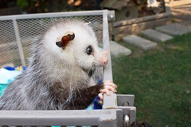 MBD: Metabolic Bone Disease   opossumcare