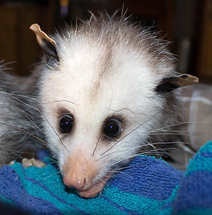 MBD: Metabolic Bone Disease | opossumcare