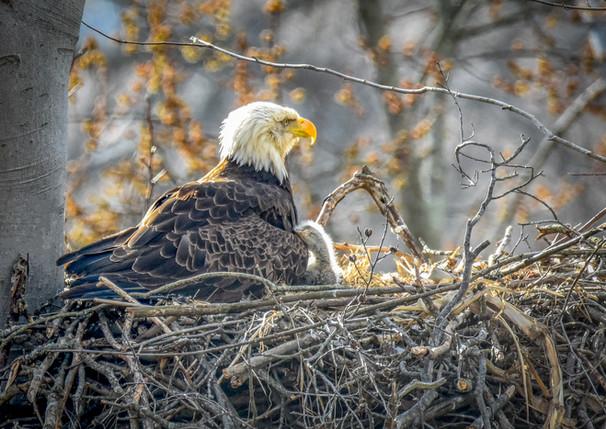 Eagle Snuggles